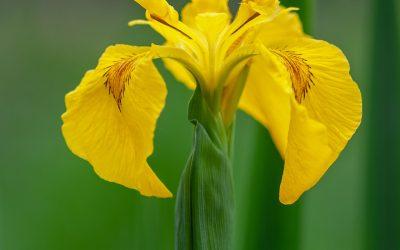 Iris in the Bog